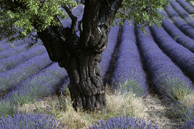 Lone Tree with Lavender